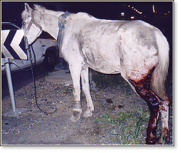Seriously injured carthorse